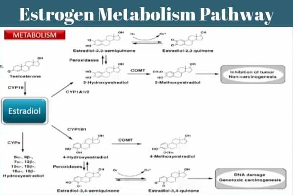 Estrogen Metabolism Pathway And The 3 Primary Estrogen Metabolites